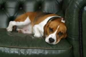 Why Dogs Destroy Furniture