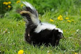 How to remove skunk odor from your dog