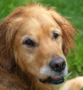 Older dogs require a lot of care and love